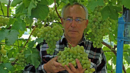 Мужчина держит в руках крупную ветвь зеленого винограда