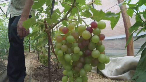 Крупная гроздь винограда висит на ветке