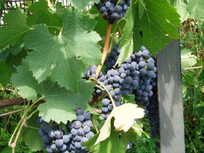 Виноград с гроздьями синих ягод и большими темно-зелеными листьями