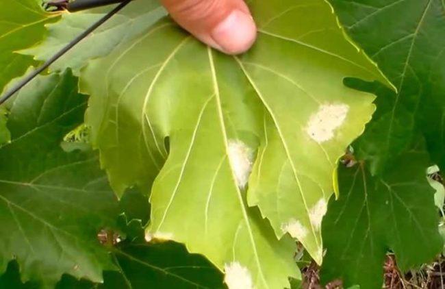 Мужчина держит лист винограда, поражённый заболеванием