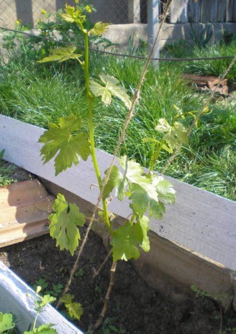 Первые молодые побеги винограда после прошлогодней осенней посадки
