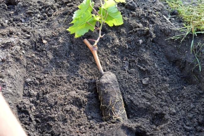 Саженец винограда лежит на почве в лунке
