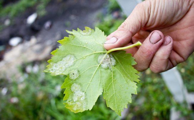 Нижняя сторона виноградного листа с белесыми пятнами вследствие поражения милдью