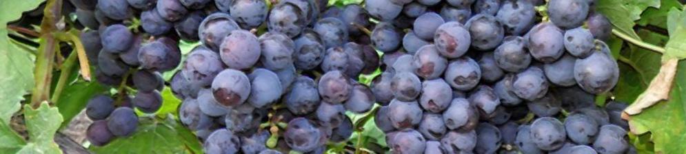 Спелая гроздь винограда сорта Муромец