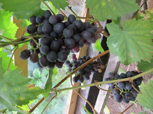 "Кисти винограда сорта ""Муромец"" висят на кусте виноградника"