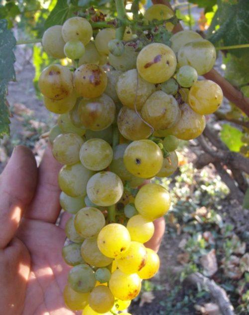 Гроздь спелого винограда сорта Мускат Венгерский с ягодами золотистого оттенка