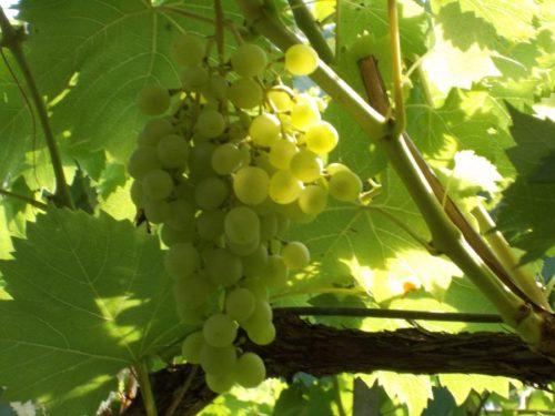 Кисть гибридного винограда универсального предназначения сорта Мускат Венгерский