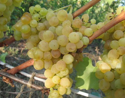 Крупная гроздь винограда сорта Мускат Венгерский с плодами желтовато-зеленого окраса