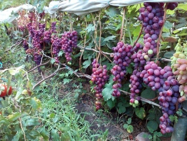 Виноградная лоза гибридной культуры Воевода под нагрузкой в одну кисть на побег