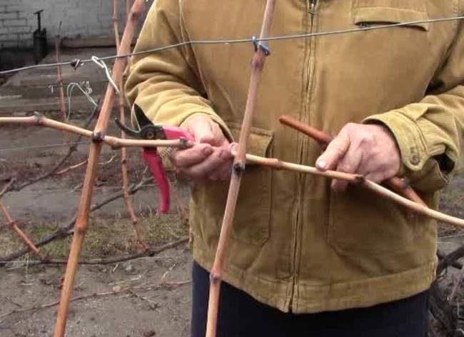 Нарезка садоводом виноградных черенков с одеревеневшей лозы