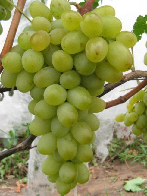Крупная виноградная кисть столового сорта Новый Подарок Запорожью