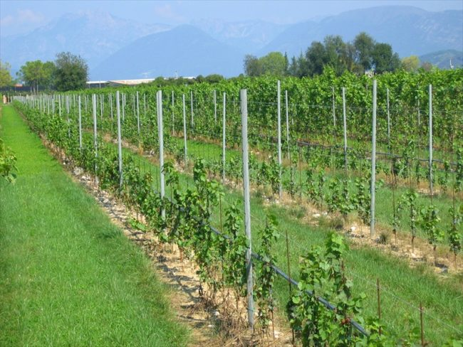 Виноград растёт на плантации подвязан на шпалерах