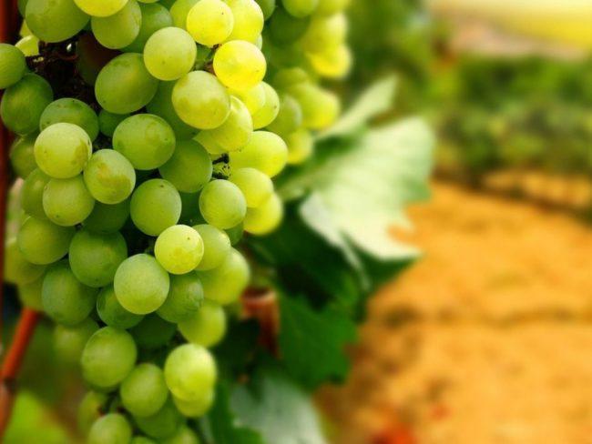 Гроздь зеленого винограда с листьями