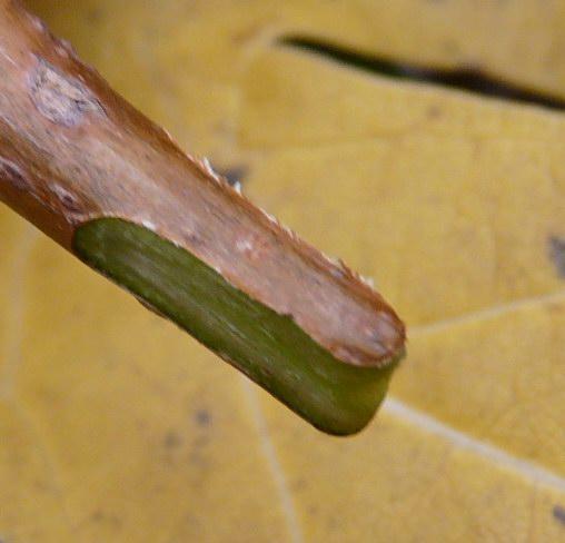 Черенок плодового винограда, обрезанный под двухсторонний клин