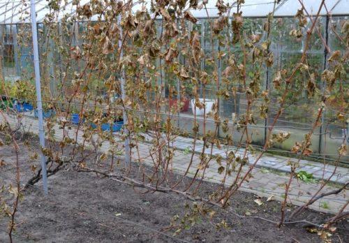 Куст винограда на шпалере перед осенней формирующей обрезкой