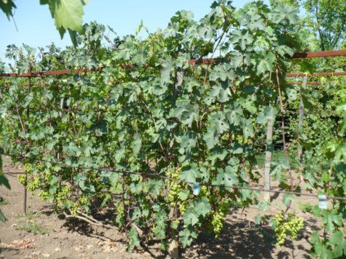 Виноградный куст после летнего пасынкования и удаления побегов
