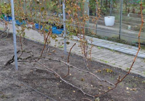 Виноградный куст после формирующей обрезки на пять рукавов