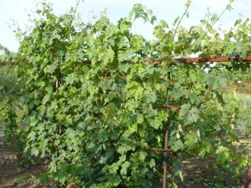 Заросший куст винограда на вертикальной одноплоскостной шпалере