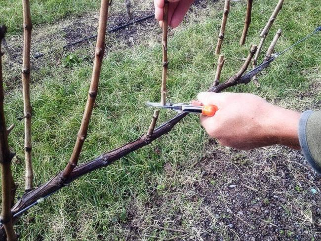 Осенняя обрезка виноградной лозы с формированием кордона на короткие сучки