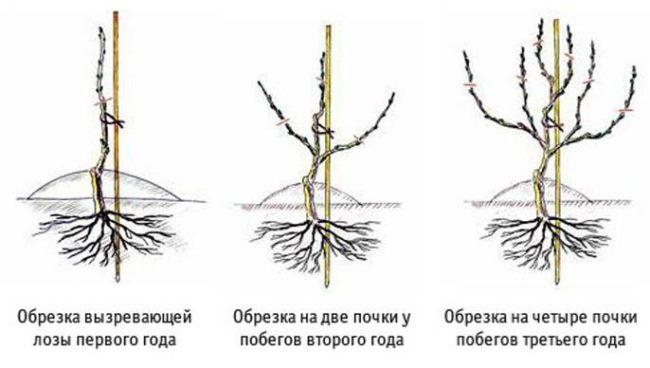 Схемы обрезки винограда на первый, второй и третий года