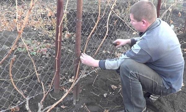 Осенняя обрезка виноградной лозы садоводом и сетка-рабица на заднем плане