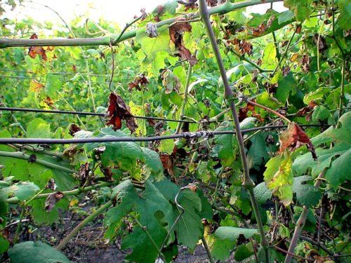 Виноградная лоза с засыхающими листьями и побегами вследствие поражения ложной мучнистой росой