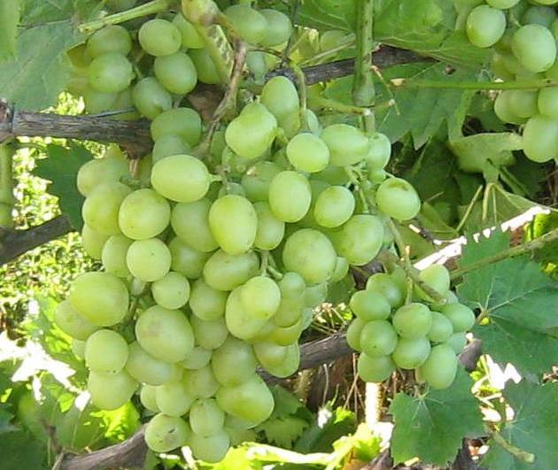 Гроздь винограда столового сорта Настя с первичными признаками поражения оидиумом