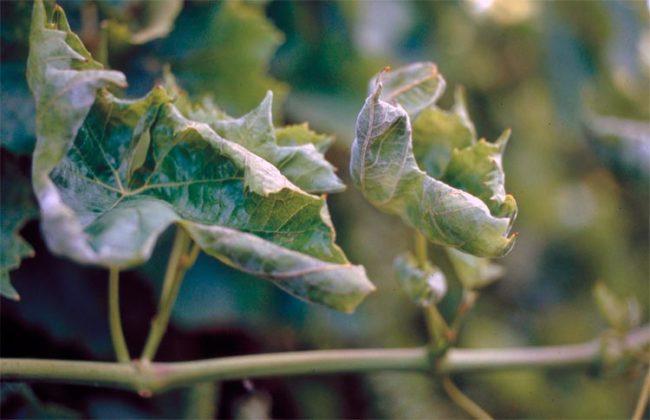 Скрученные листья винограда с белесыми пятнами – поражение растения мучнистой росой