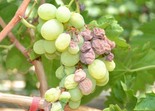 Кисть белого винограда с признаками поражения оидиумом – сморщенные плоды коричневого цвета