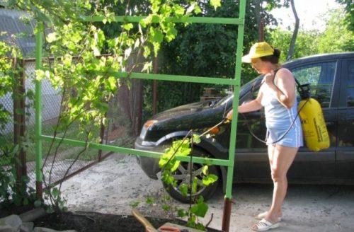 Молодая лоза винограда на шпалере и женщина-садовод с опрыскивателем