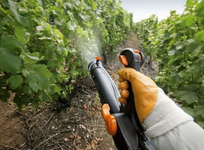 Летнее опрыскивание винограда из распылителя от мучнистой росы