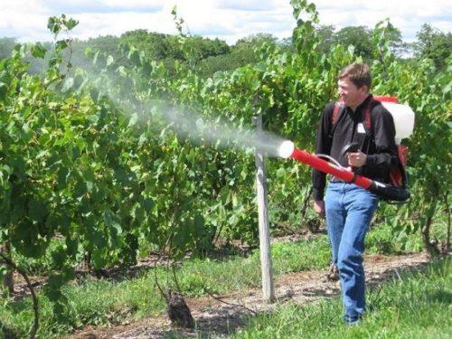 Мужчина обрабатывает виноградную лозу