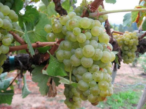 Ветка винограда с крупными зелёными ягодами