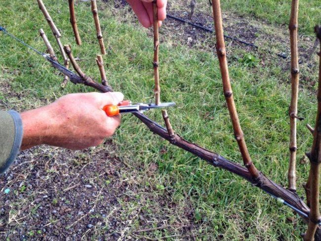 Человек секатором обрезает ветки виноградника