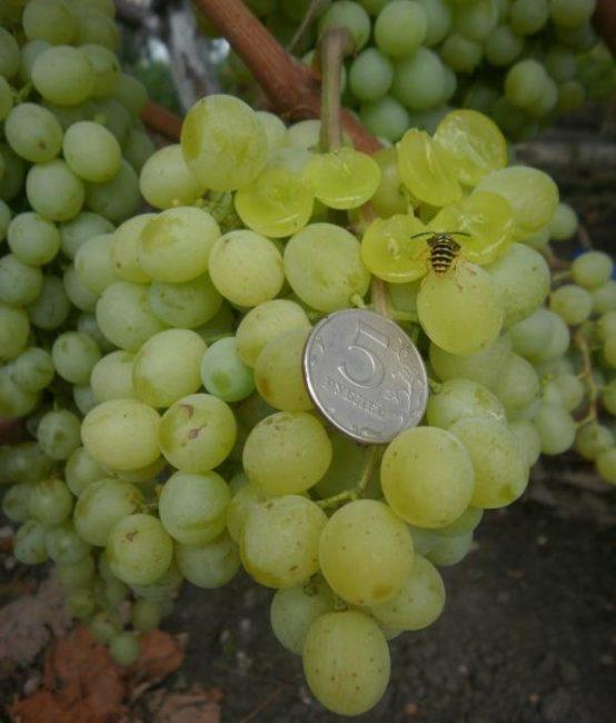 Кисть винограда с осой на лопнувшей ягоде и монетка достоинством в 5 рублей