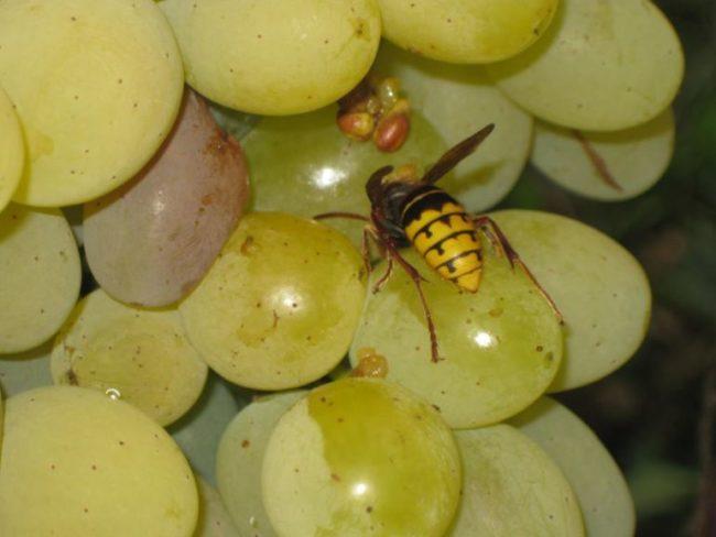 Спелые, желто-зеленые плоды столового винограда и полосатая оса