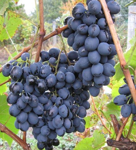 Грозди винограда селекционного сорта Осенний Черный с плодами темно-синего окраса