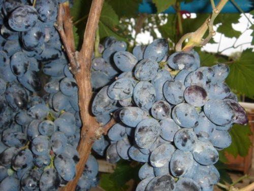 Ягоды винограда сорта Осенний Черный вблизи и одеревеневшая ветка лозы