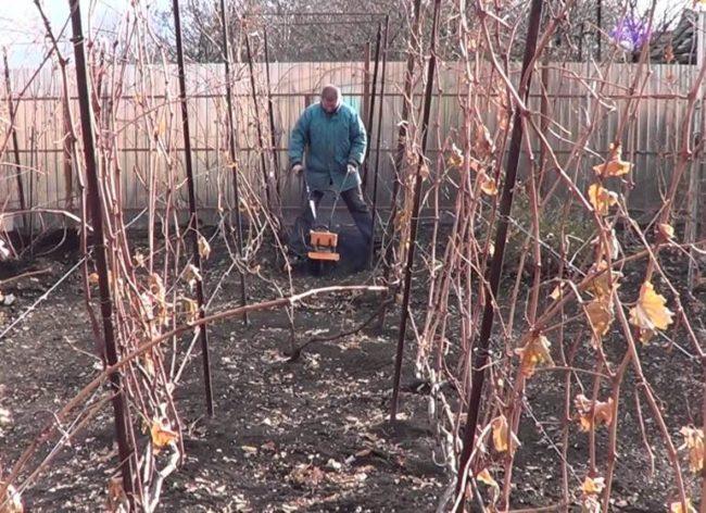 Виноградная лоза осенью на шпалере и садовод с мотоблоком