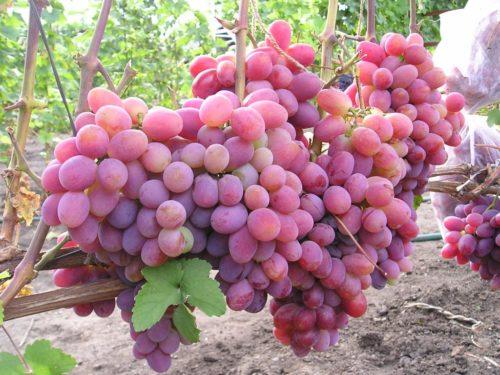 Грозди спелого винограда столового сорта Памяти Хирурга с ягодами розового окраса