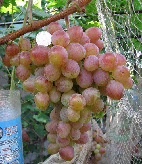 Крупная гроздь винограда сорта Памяти Хирурга с плодами золотисто-розового цвета