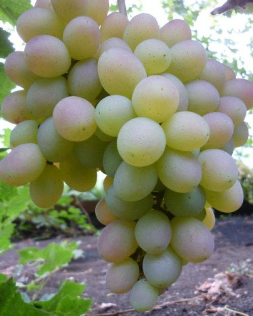 Кисть винограда столового сорта Памяти Хирурга в начале окрашивания плодов