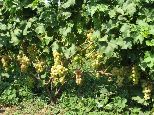 Четырехлетний куст винограда столового сорта Памяти Хирурга с нормировкой по грозди на побег