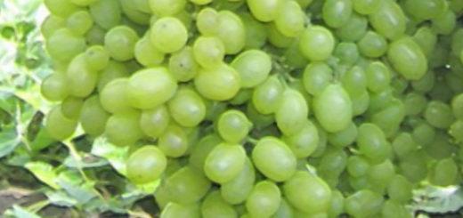 Спелые плоды винограда сорта Алешенькин