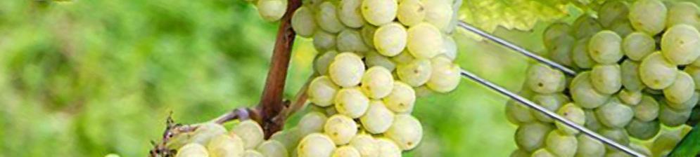 Созревающие плоды винограда сорта Дружба