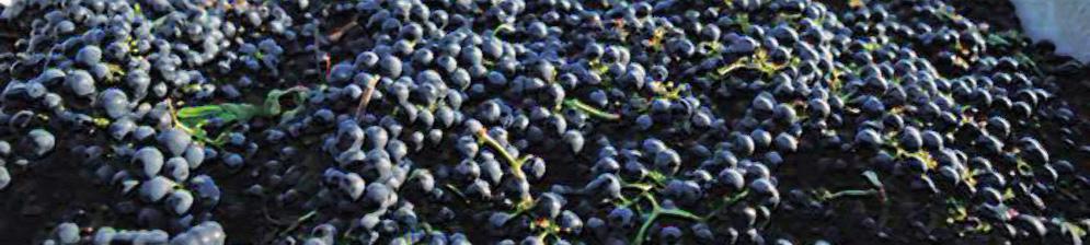 Спелые собранные плоды винограда сорта Красень