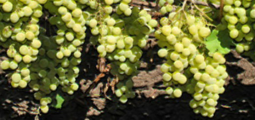 Плоды сорта винограда Лора