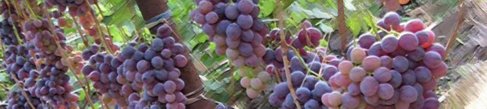 Плоды спелые винограда сорта низина
