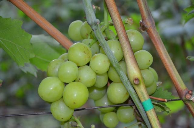 Плоды сорта винограда прима Украины вблизи