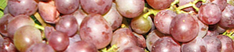 Спелые плоды винограда Ранний русский вблизи